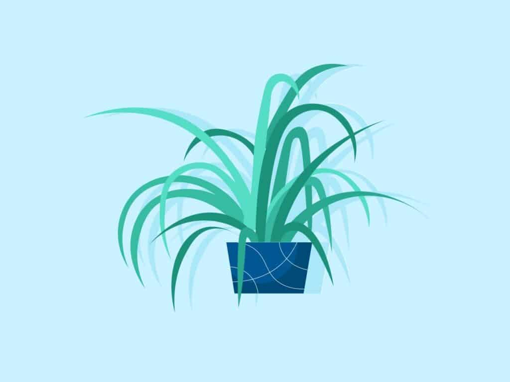Illustrating how the Spider Plant looks like